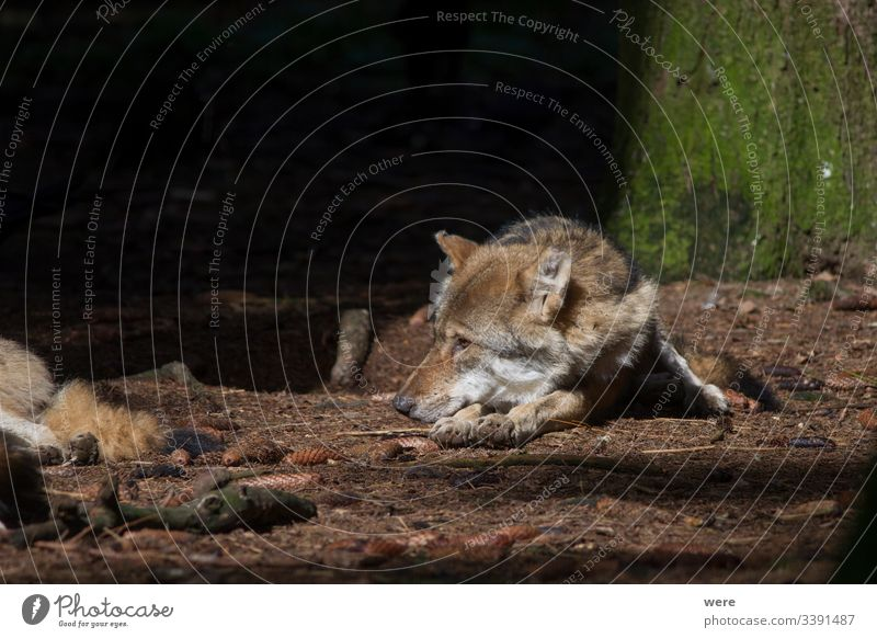 Wolves rest in the sunbeam in the forest Canis lupus Sleep Wolf animal cuddly cuddly soft danger fed fur hunter napping nature nobody pack peaceful predator