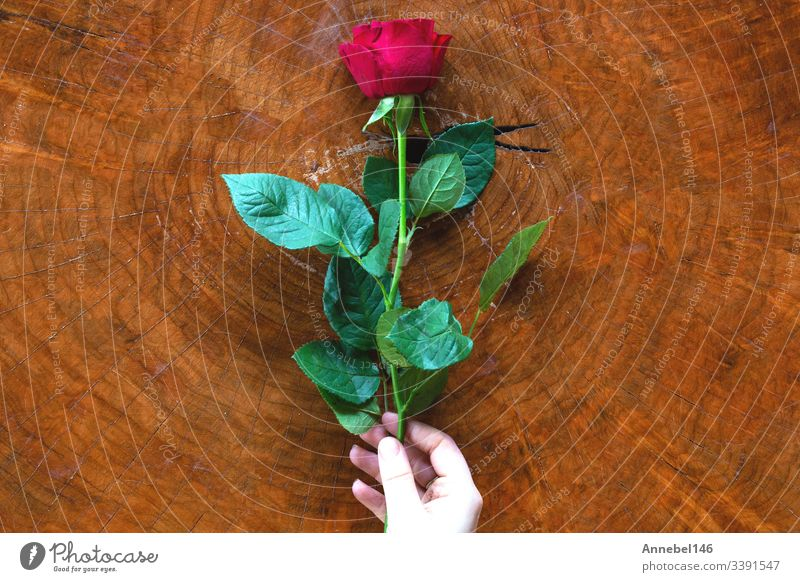 Woman hands with red rose and wooden background texture flower table white beautiful romantic love hold beauty valentine woman holiday gift soft therapy thumb