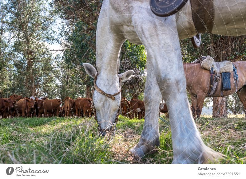 A grazing horse is in the foreground, in the shadow of the eucalyptus trees a herd of cattle is waiting patiently out Nature Summer Environment Landscape Green