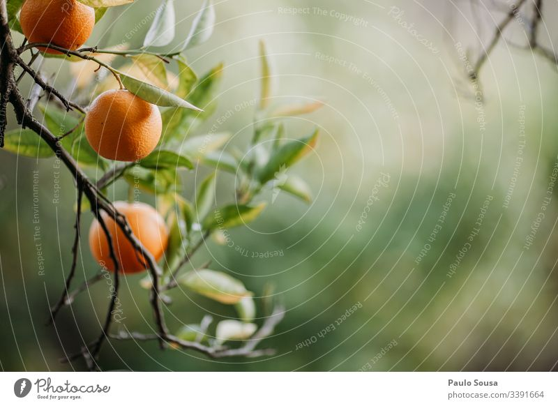 Oranges in a tree with copy space right Orange tree Nature Tree Exterior shot Colour photo Leaf Fruit Environment Beautiful weather Shallow depth of field