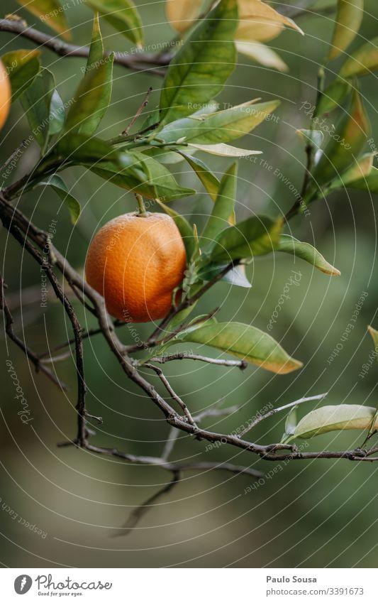 Closeup orange in a tree Orange tree Orange plantation Colour photo Nature Copy Space Down Tree Exterior shot Healthy Vitamin C Organic Orange juice bio
