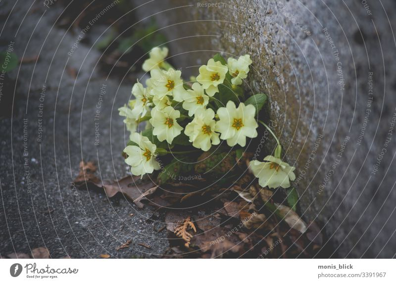 Primroses on asphalt Cowslip plants cowslip Flower Spring Blossom Colour photo Close-up Nature Exterior shot Plant Spring fever Spring flower Spring flowerbed