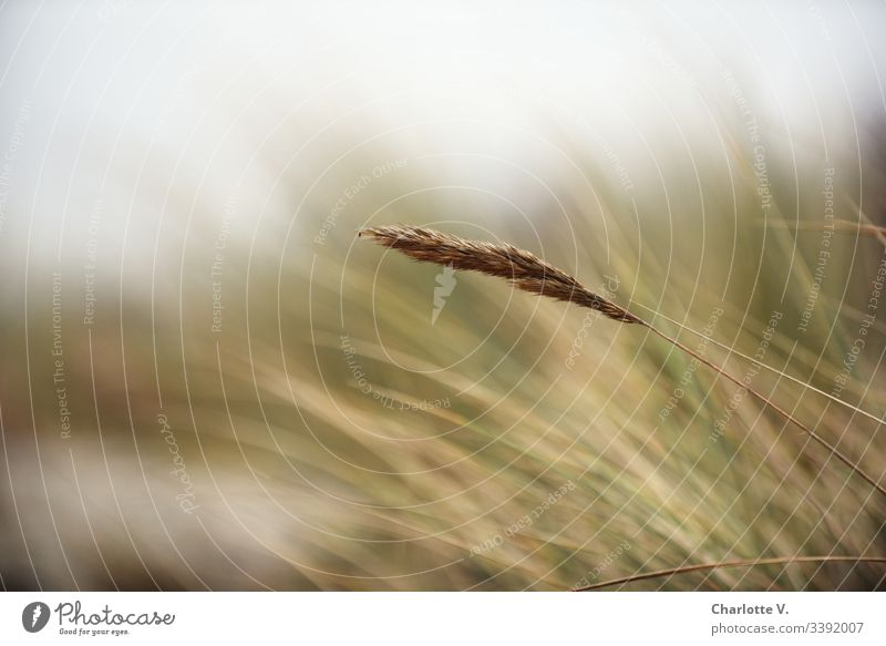 blade of grass, delicate autumn colours Grass Nature Blade of grass Plant Exterior shot Deserted Shallow depth of field Detail Environment Copy Space top Day