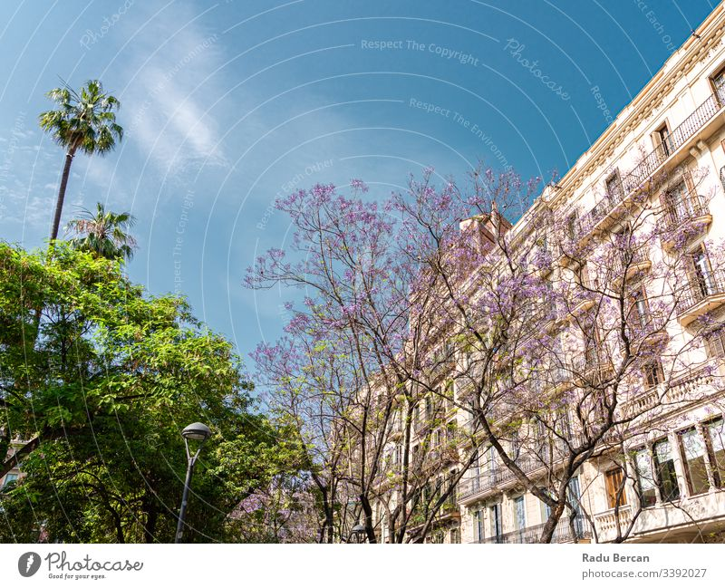 Purple Flowering Trees In The Center Of Barcelona City In Spain barcelona spain downtown architecture city purple tree flower nature beautiful spring bloom