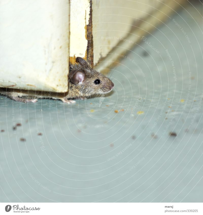 A house mouse that carefully checks whether the air is clean. Animal Pet Mouse 1 Observe Simple Disgust Creepy Gray Colour photo Subdued colour Interior shot