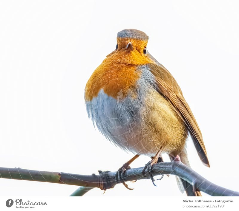 Robin on a branch Robin redbreast Animal portrait Forward Looking into the camera Full-length Portrait photograph Contrast Shadow Light Day Copy Space bottom