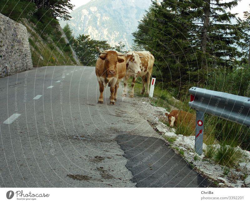 Kühe auf einem Pass in den Allgäuer Alpen alpen Allgäu Alps berge kühe rotbunt vieh fleckvieh Farm animal street alpenpass pass straße gebirge hochgebirge kalb