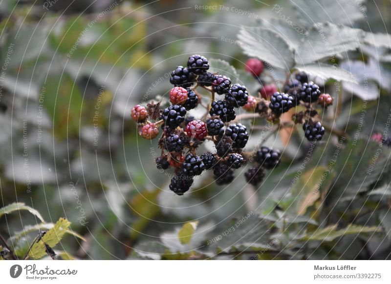 sugary sweet eat fruit Forest Nature Berry bushes Leaf