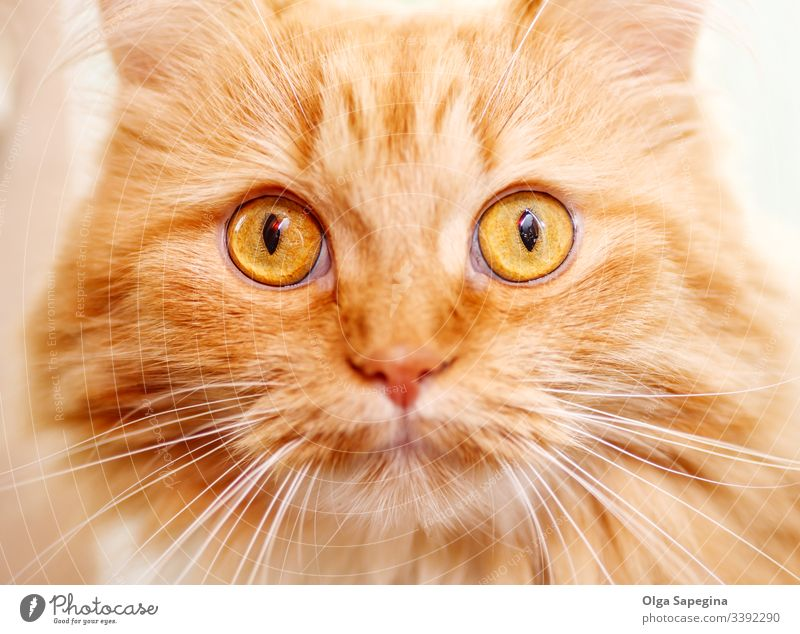 old red cat Cat Face Animal Close upstairs Portrait photograph Domestic Eyes feline Kitten Head Close-up Pet Mammal Cute Pelt Nose Looking kitten Hair furry