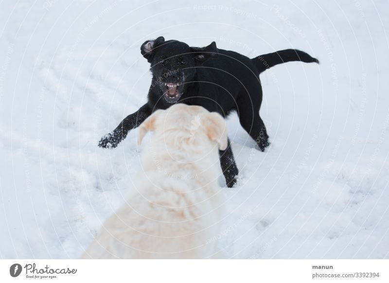 Two playing dogs in the snow, where a little black puppy asks a white dog to play by snarling its teeth, which looks aggressive but isn't, which is why the big white and older dog watches the tomboy calmly