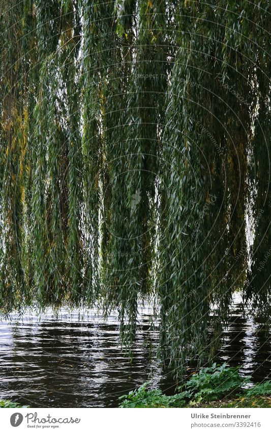 Low hanging weeping willows on the Alster | UT 10/2019 Weeping willow hanging willow Willow tree Salix babylonica salix Park park Relaxation bank Lake Hamburg