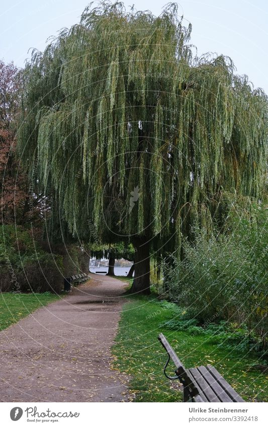 Low hanging weeping willows on the Alster | UT 10/2019 Weeping willow hanging willow Willow tree Salix babylonica salix Promenade Park park Bench bench off