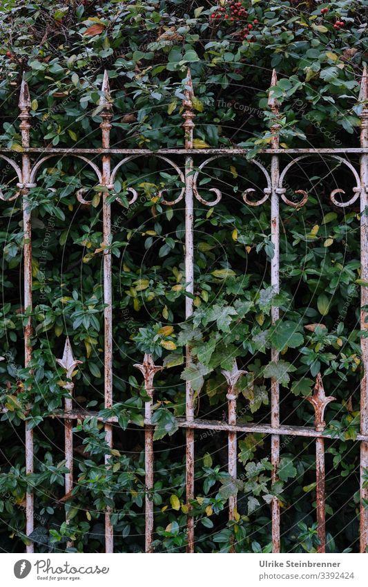 Old wrought-iron garden fence in front of green hedge Fence Wrought iron Garden fence ornamental Point Metalware Hedge shrub bush Nostalgia nostalgically Border