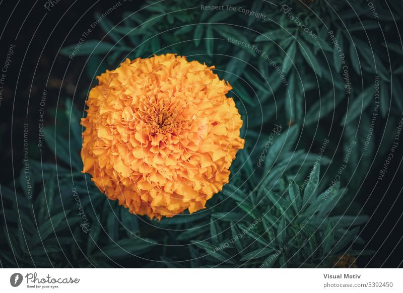 Orange Flower of Tagetes erecta commonly known as African marigold african marigold background beautiful beauty bloom blossom botanic botanical botany color