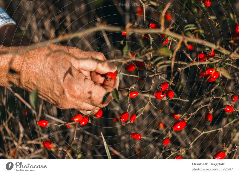 Hands while harvesting rosehips rose hip Rose hip hands Harvest reap Gardening out