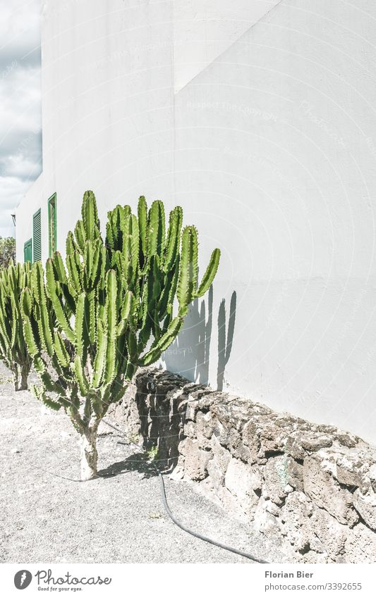 Cactus in the sun in front of a house wall plants fauna cactus House (Residential Structure) Window Garden hose Cast Irrigation Gravel peak Green Gray wise