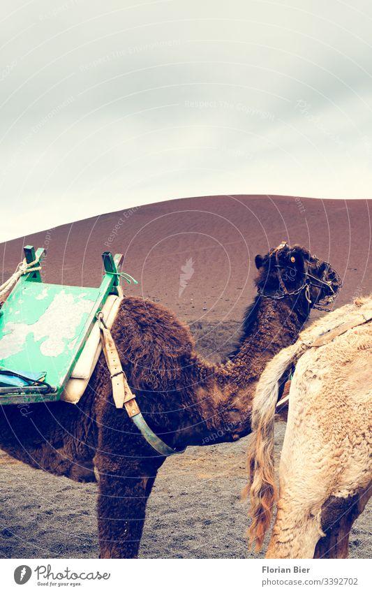 Camel caravan in the desert Desert Nature Landscape Dune Dry Animal Caravan Pelt Brown Bright Saddle Sand Vacation & Travel Tourism Dromedary Adventure Hot