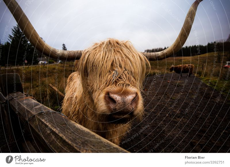 Highland Cow on a pasture in Scotland Highlandcow Animal Farm animal horns Cor anglais Pelt Wet shaggy Willow tree Fence Grass Cattle Eating Meat Vista cozy