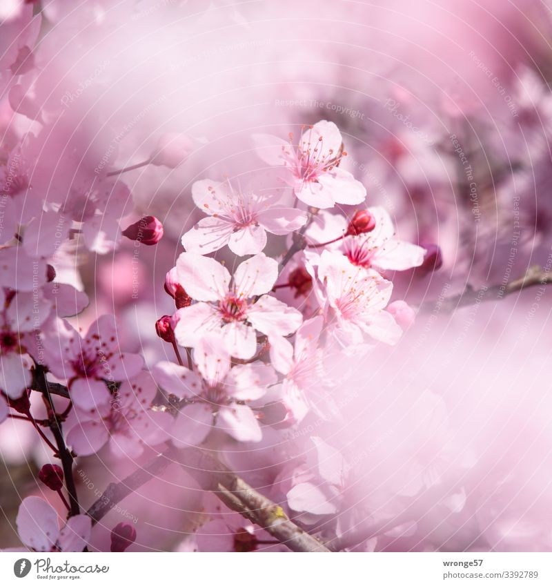 Pink flowers of the decorative cherry blossoms Spring flowering plant Blossom Nature Colour photo Exterior shot Shallow depth of field Natural Sunlight Park