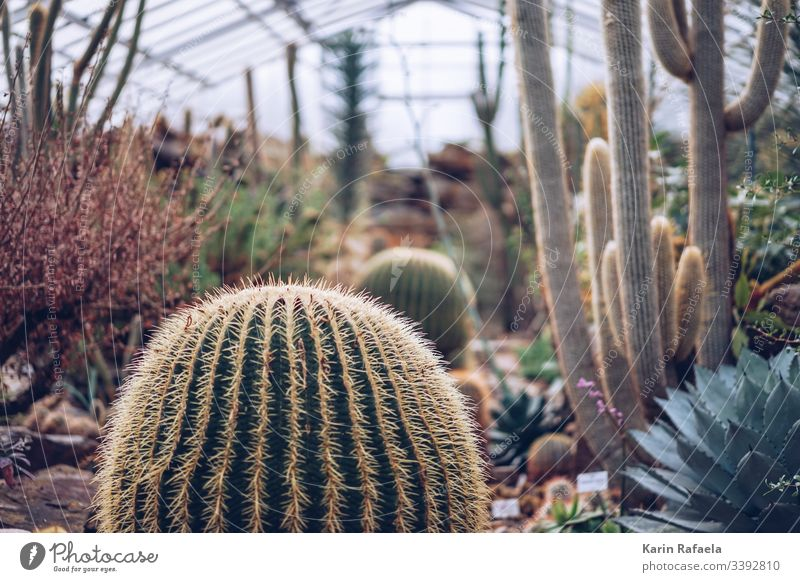 Cacti in the greenhouse Cactus Cactusprickle Plant Green Colour photo Thorn Nature Blur Interior shot Day Thorny Point Desert Deserted Exotic Environment