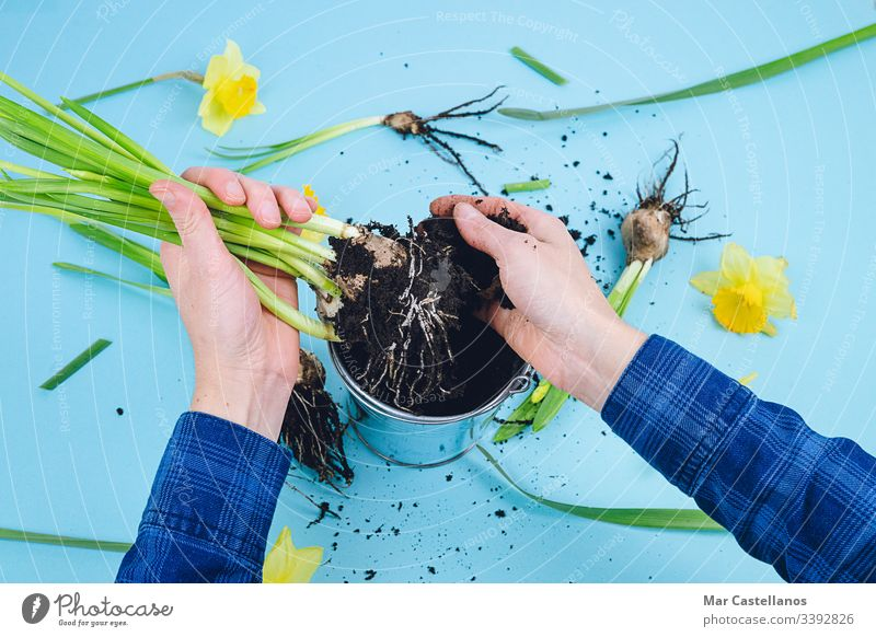 Women's hands planting spring bulbs on a blue background. Gardening concept. Hands woman daffodils gardening earth transplanting decoration home gardening work