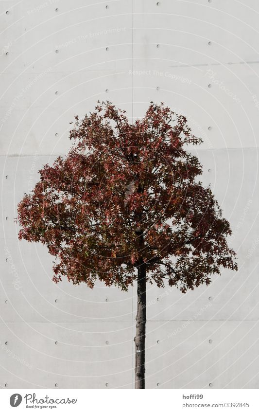 autumnal tree in front of wall of exposed concrete Autumn leaves Tree Gray Brown Auburn Concrete wall Structures and shapes Leaf Day Exterior shot Environment