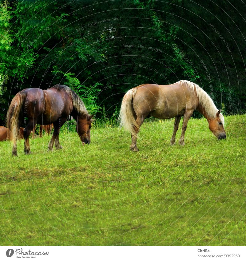 Haflinger and Black Forest Fox after the rain on the paddock Horse Willow tree Rain Grass Summer summer rain Hill Animal Nature To feed Mane Green Mammal Brown
