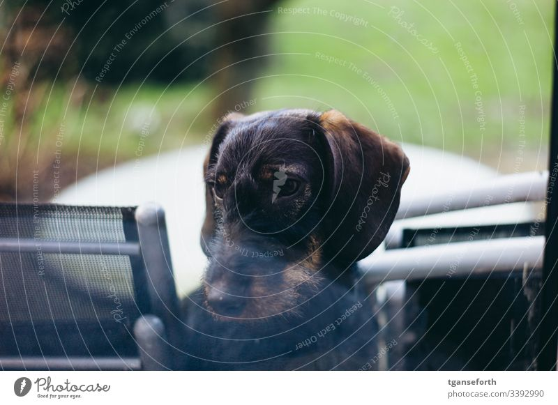 Dachshund in window Puppy sad Animal Dog Cute Love of animals Exterior shot Pet Deserted Animal face Curiosity Interior shot Animal portrait Observe Baby animal