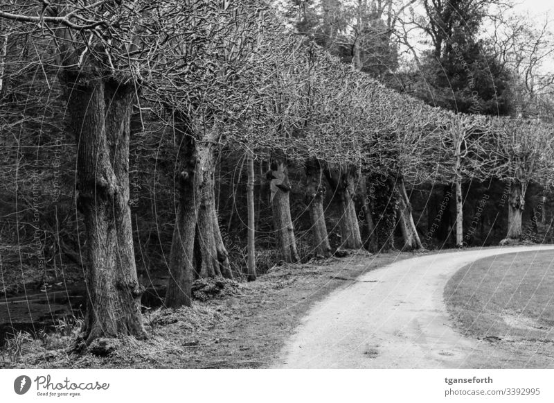 Row of trees in winter Tree Winter Black & white photo Exterior shot Landscape Park Bleak bare trees Lanes & trails off Deserted Curve