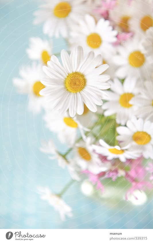 Nature Beautiful Summer Flower Spring Blossom Bright Natural Decoration Bouquet Positive Ease Marguerite Meadow flower Wild plant Pastel tone