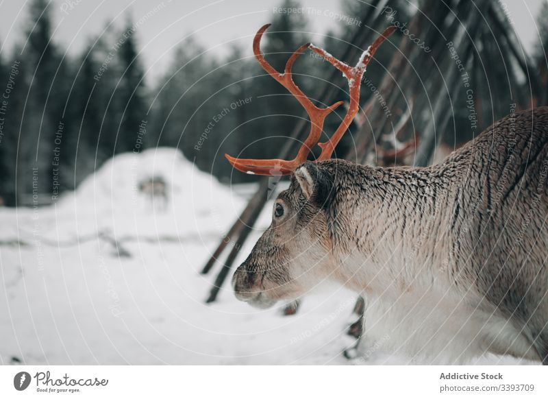 Reindeer in snowy countryside reindeer winter antler animal lapland domestic mammal nature finland nobody polar north cold cool frost weather fur harmony