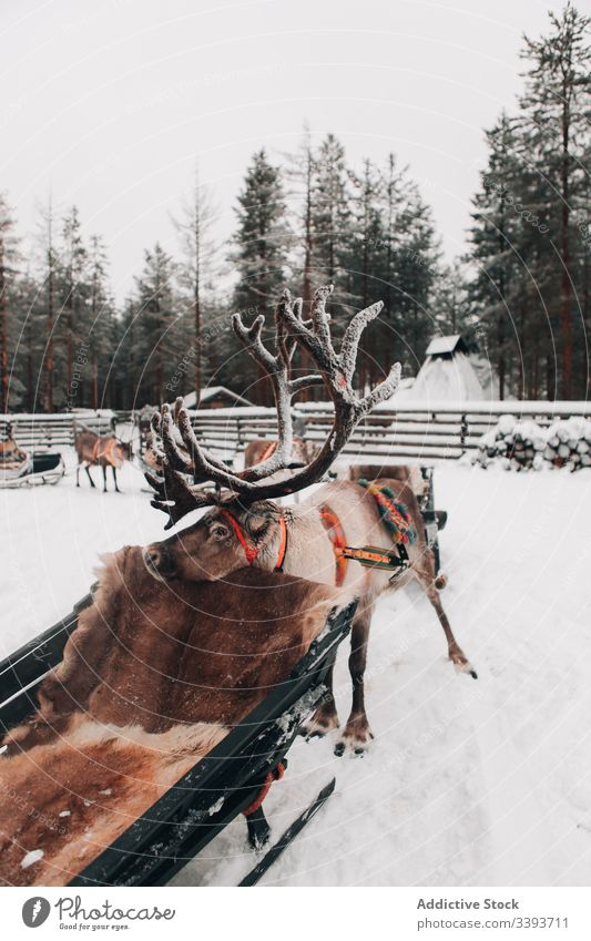 Reindeer with sleigh in snowy countryside reindeer winter antler animal lapland domestic mammal nature nobody polar north cold cool frost weather fur harmony
