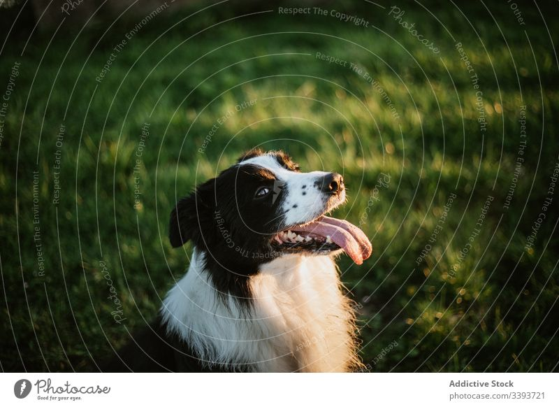 Happy purebred dog enjoying walk in park pedigreed tongue out grass pet canine domestic friend mammal adorable green loyal active fluffy animal breed obedient