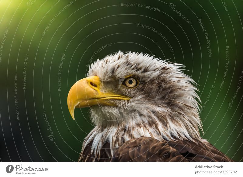 Strong wild eagle resting in summer day observe environment bird hunter wildlife fauna animal nature predator feather habitat specie beak ornithology creature