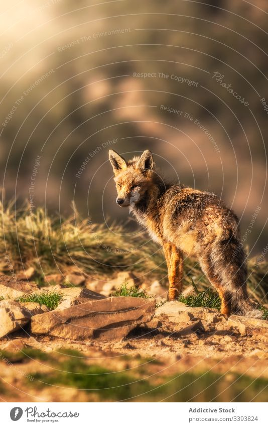 Wild animal in dry grass in autumn wild fox nature field countryside fauna mammal carnivore rural habitat curious creature environment specie adorable dog