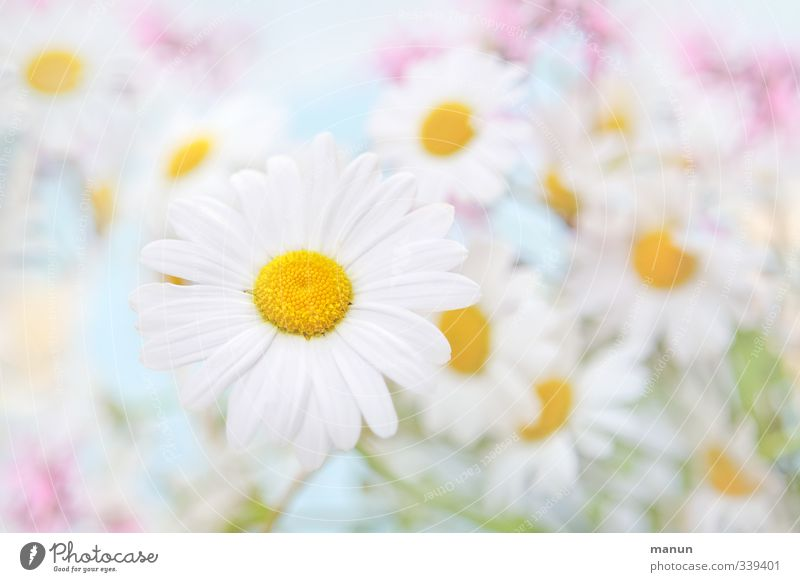 Nature Blue Beautiful White Summer Plant Flower Spring Bright Pink Marguerite Meadow flower Wild plant