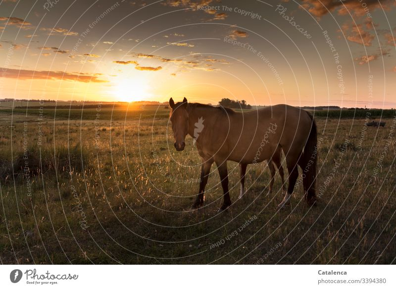 Well hidden behind his mummy, the foal sees the sun setting on the horizon, the grasses glowing in the evening light Horse Foal Animal Baby animal