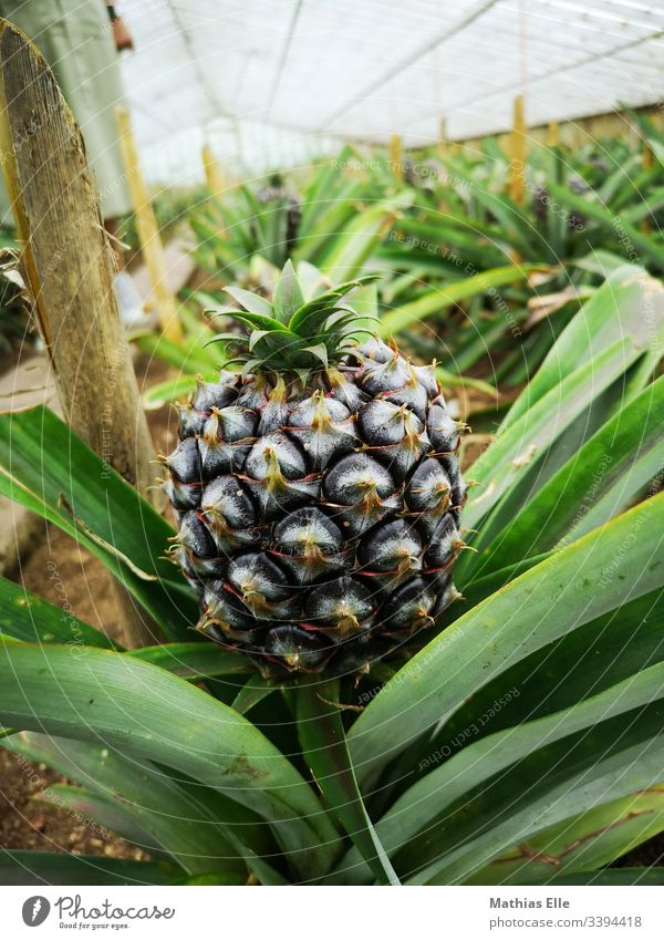 Pineapple in a greenhouse Delicious Food Fresh Fruit Landscape Nature Plant Environment Diet Healthy Vegetarian diet Thorny Sweet Juicy Sour Exotic Azores