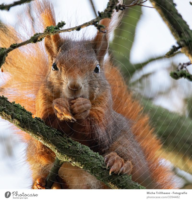 Eating squirrel in a tree Squirrel sciurus vulgaris Head Animal face Eyes Nose Ear Paw Claw Pelt Wild animal To feed To hold on Tails Twigs and branches Tree