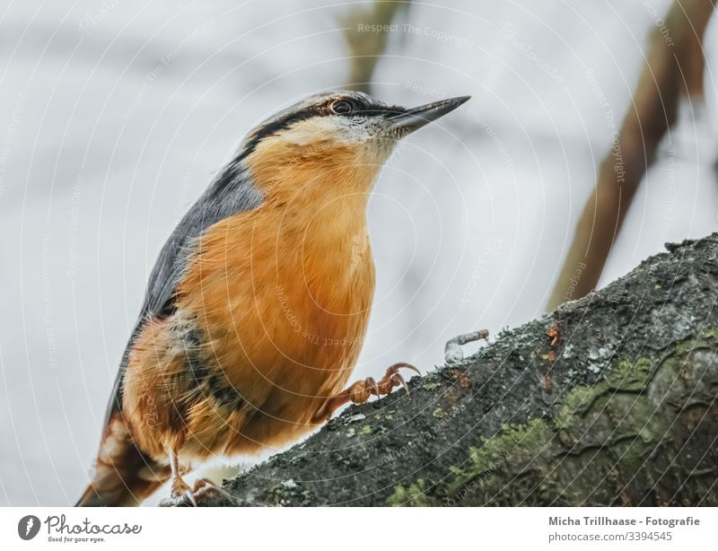 nuthatch on a branch Eurasian nuthatch Sitta Europaea Bird Animal face Grand piano Claw Feather Plumed Eyes Beak Tree Tree bark Wild animal Observe Looking