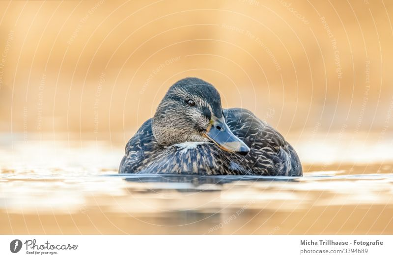 Swimming mallard in the sunshine Mallard Duck Anas platyrhynchos be afloat Water Bird Nature Head Beak Eyes Grand piano feathers plumage Lake Waves Sun