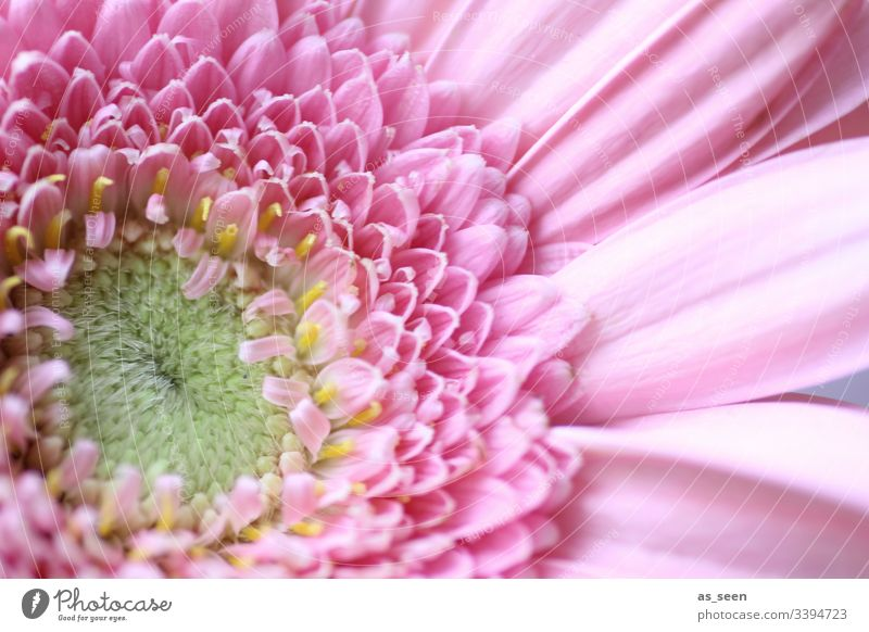 gerbera Blossom Hub pollen inner inboard center Yellow Flower Macro (Extreme close-up) Close-up Plant Spring Detail Nature Colour photo Blossom leave
