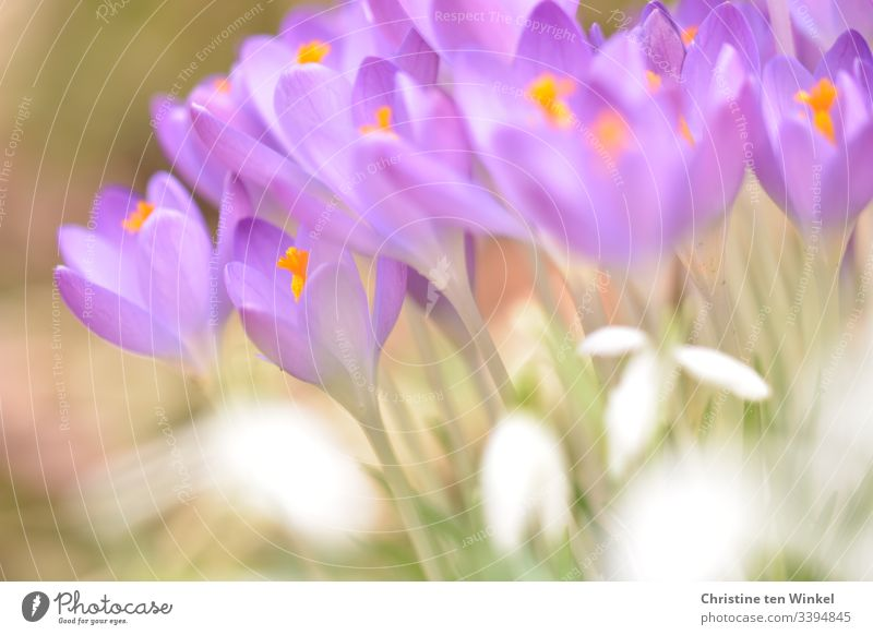 romantic purple crocuses Crocus Spring Spring flowering plant bulb flower Purple Violet Nature Flower Exterior shot Blossom Shallow depth of field Deserted
