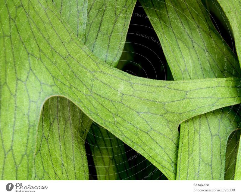Texture Detail on leaves of Elkhorn Fern , Platycerium coronarium fern tropical leaf natural plant elkhorn staghorn nature texture detail closeup green fresh