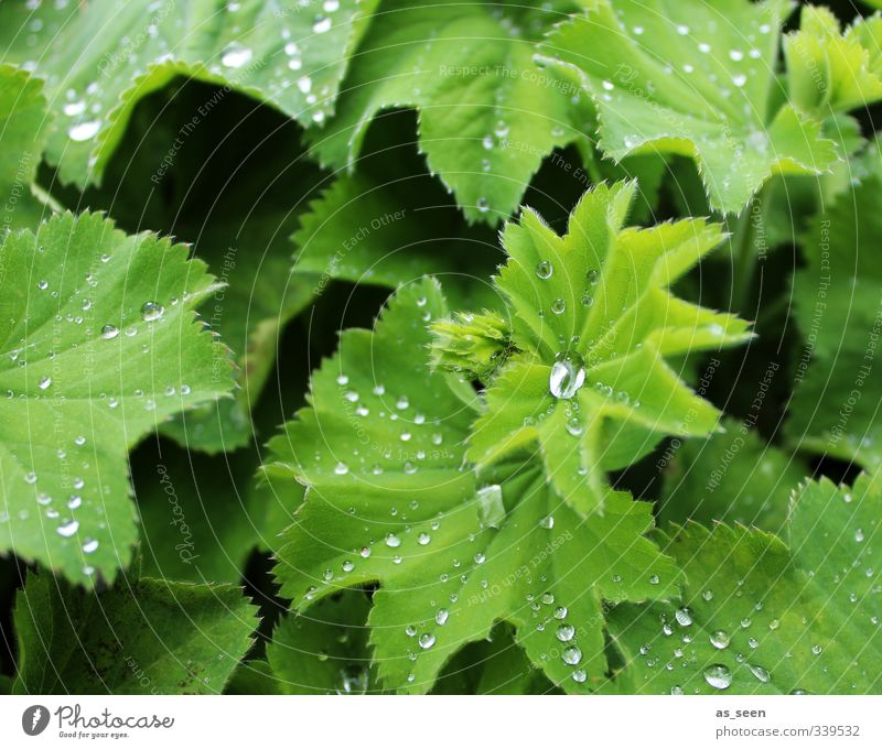 Fresh! Beautiful Healthy Wellness Life Harmonious Environment Nature Plant Drops of water Spring Summer Climate Rain Leaf Foliage plant Alchemilla vulgaris