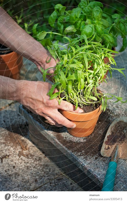Hands that plant fresh, healthy greenery in clay pots, which is later used in the kitchen in a biologically healthy diet Gardening planting time Plant