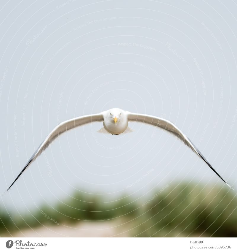 Seagull in focus Gull Flies Eye contact Grand piano Bird Flying Feather Baltic Sea Dominican Gull Ease Hunting Black-backed gull Larus dominikanus Elegant