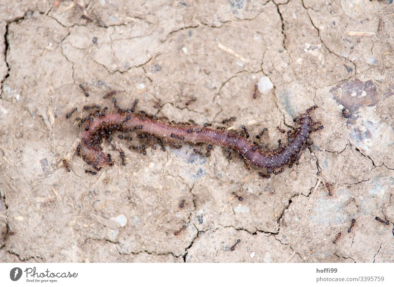 Ants eat an earthworm ant view Ant Insect Earthworm Close-up Hunt for prey eat and be eaten To feed Kill slay Death Bird's-eye view Many Wild animal Exceptional