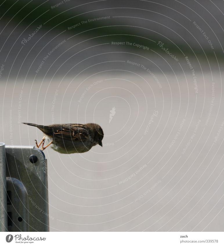 Nature Animal Gray Jump Bird Flying Adventure Wing Brash Ease Sparrow