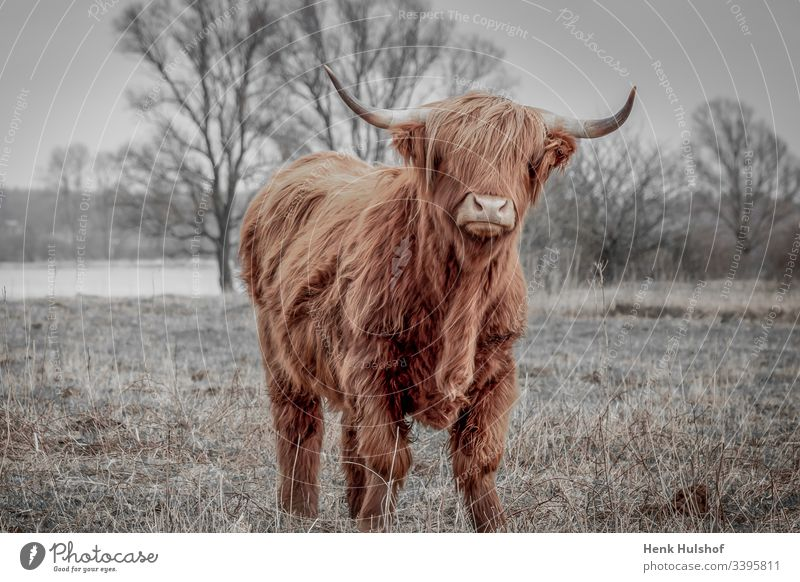 Scottish highland cattle on the field near the rainy river IJssel in the Netherlands Scotch dweller Cow Cattle animal world Winter Brown horns Field Domestic